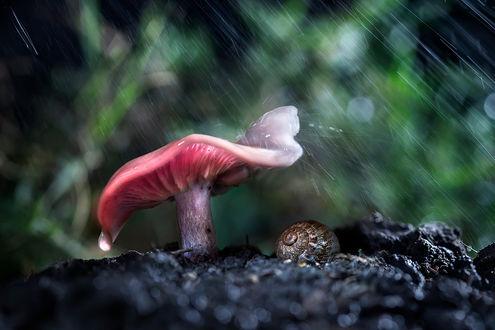 Обои Улитка укрылась от дождя под грибом