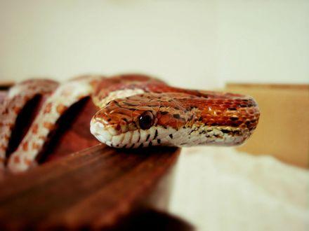 Обои Красная змея, by PhotoDragonBird