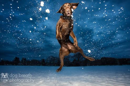 Обои Коричневый лабрадор прыгает в снегу, dog breath photography