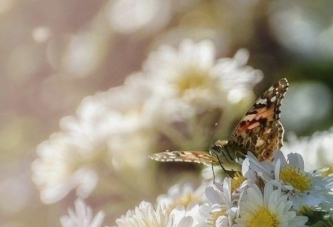 Обои Бабочка сидит на ромашках, фотограф Filiz Barıskan
