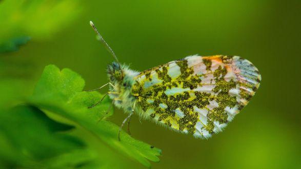 Обои Пестрая бабочка сидит на листике