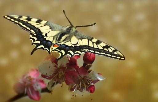 Обои Бабочка сидит на цветщей весенней ветке, фотограф Filiz Barıskan