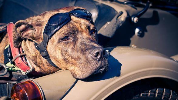 Обои Печальный пес с очками на голове положил морду на мотоцикл