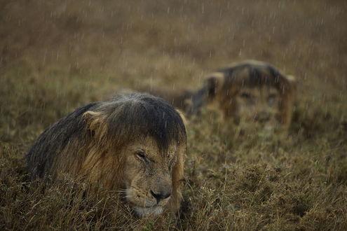 Обои Сердитые львы лежат под проливным дождем