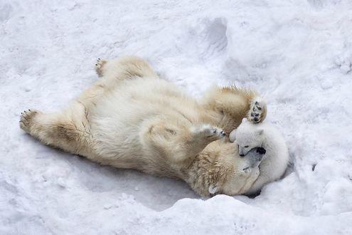 Обои Белая медведица играет со своим медвежонком в снегу