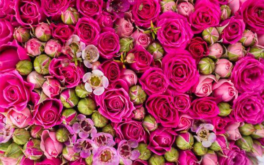 Обои Яркие розовые розы и их бутоны