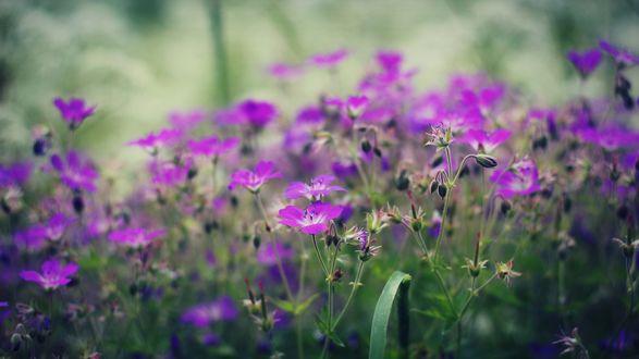 Обои Сиреневые полевые цветы