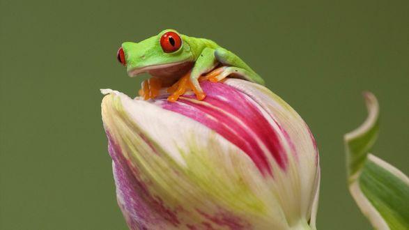 Обои Древесная зеленая лягушка сидит на цветке тюльпана
