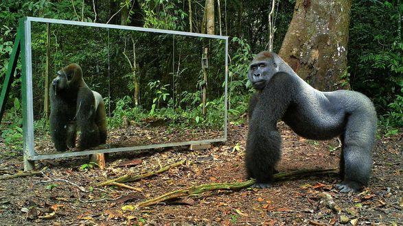 Обои Крупная серебристая горилла у зеркала в лесу