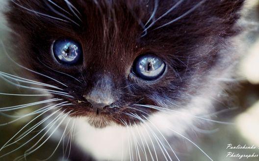 Обои Очаровательный голубоглазый котенок