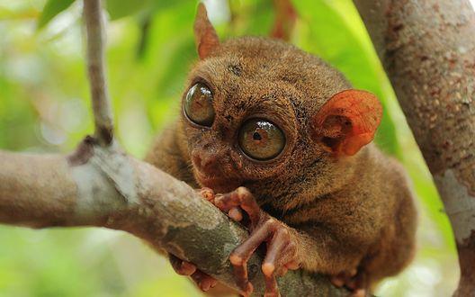 Обои Филиппинский долгопят, иначе сирихта, примат, сидит на ветке дерева, на размытом лиственном фоне