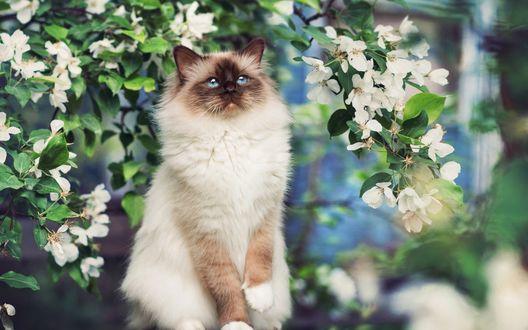 Обои Сиамская кошка с голубыми глазами сидит под цветущим деревом