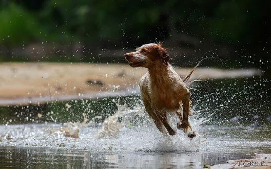Обои Пес бежит по воде, фотограф Александр Чибиркин