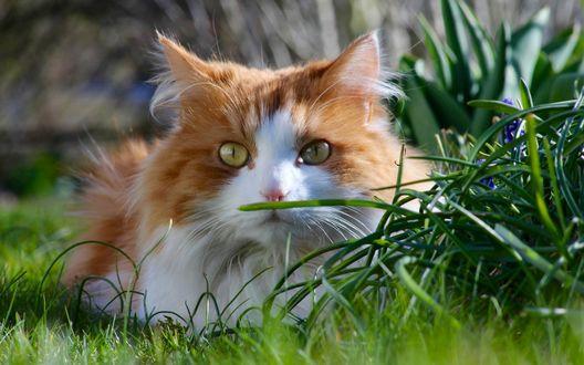 Обои Бело-рыжая пушистая кошка лежит на зеленой траве