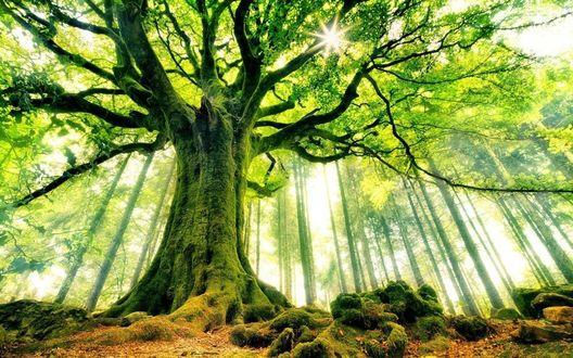Обои Бук Понтуса в лесу Броселианд, Франция