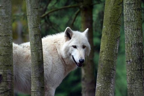 Обои Белый волк в лесу среди деревьев