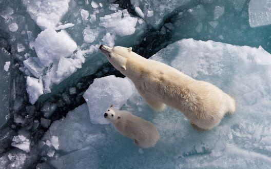 Обои Белая медведица на льдине со своим медвежонком