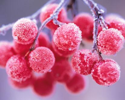 Обои Покрытые изморозью красные ягоды рябины