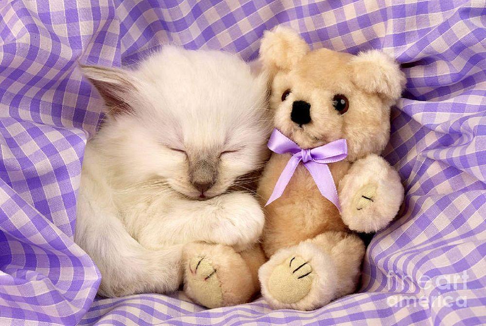 Обои для рабочего стола Котенок спит, прижавшись к игрушечному медведю (fine art america)