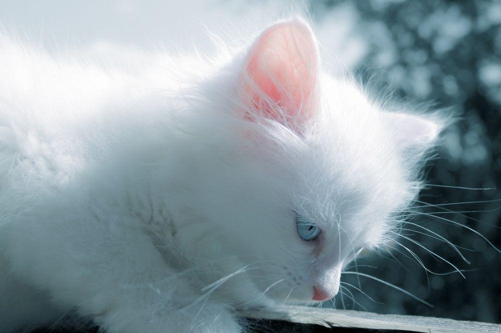 Обои для рабочего стола Белый пушистый голубоглазый котенок