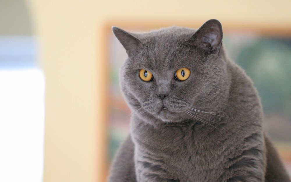 Как называются желтые коты