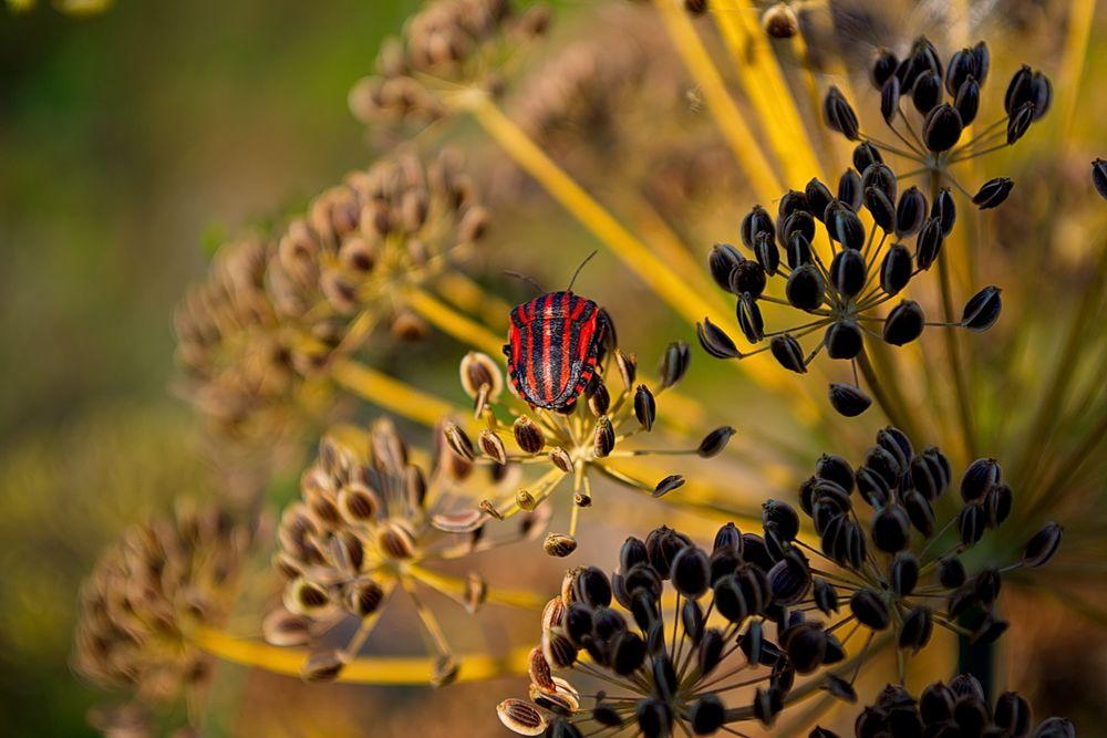 Обои для рабочего стола Красный полосатый жук сидит на растении с семенами