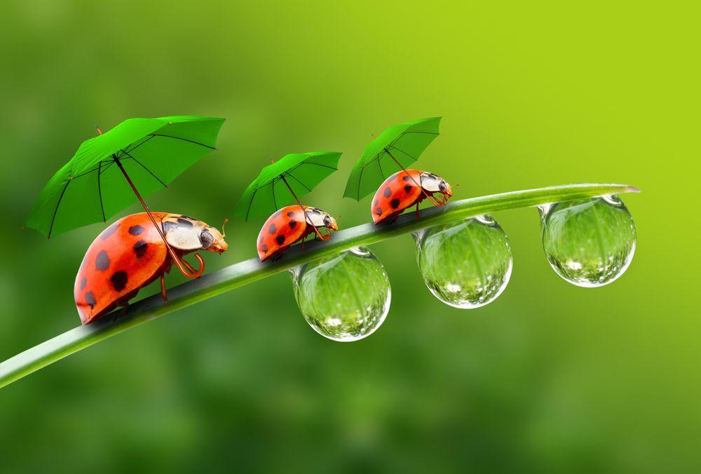 Обои для рабочего стола Божьи коровки под зелеными зонтами идут по листку, снизу которого повисли капли воды