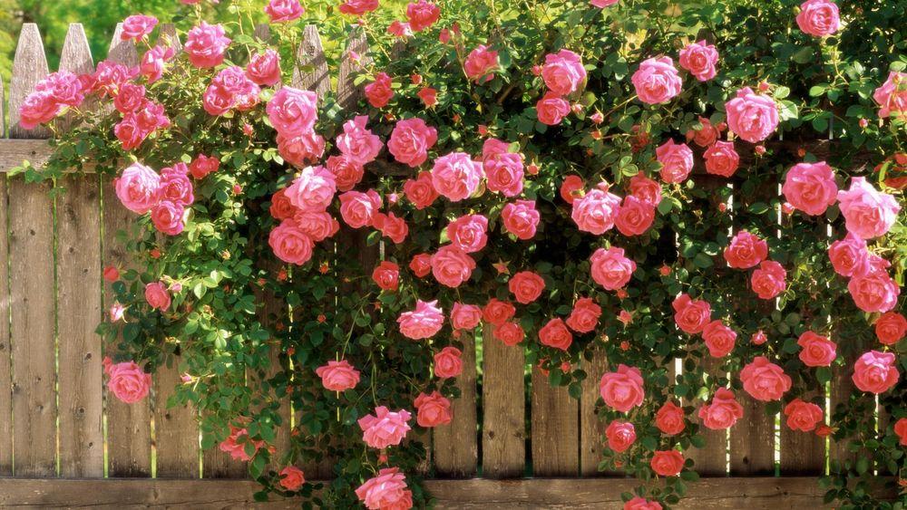 Обои для рабочего стола Большой розовый куст, склонивший ветви на деревянный забор