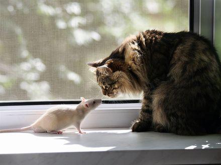 Обои Приятное знакомство, пушистая кошка встретилась на подоконнике с белой крыской