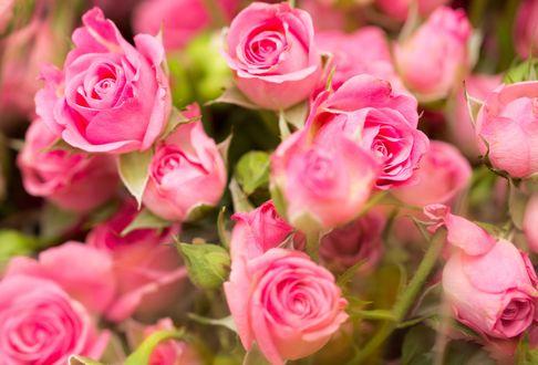 Обои Букет розовых роз
