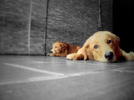 Обои Щенки золотистого ретривера лежат на полу