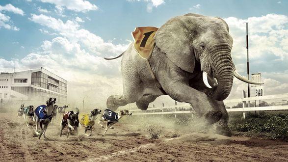 Обои Соревнования гончих собак со слоном