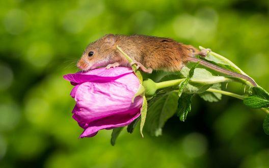 Обои Мышка сидит на бутоне розовой розы