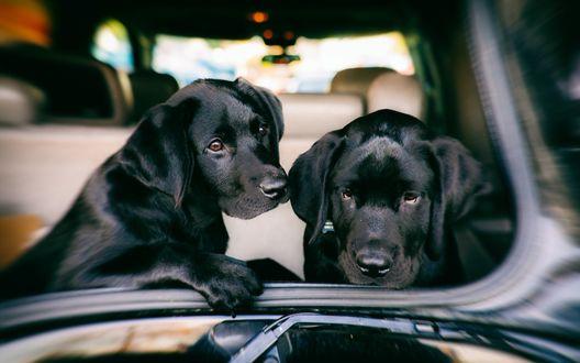 Обои Черные щенки лабрадора сидят в автомобиле