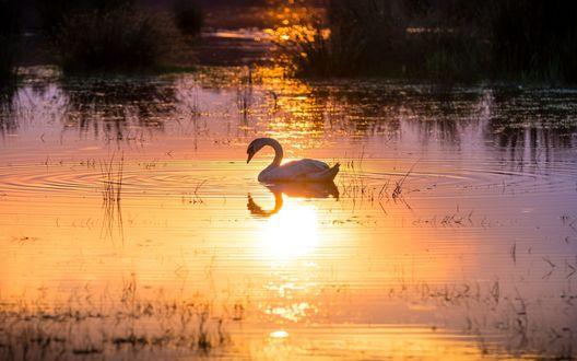 Обои Белый лебедь, плавающий в озере на закате солнца