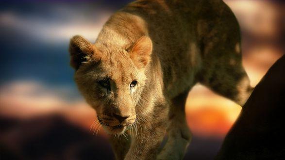 Обои Маленький львенок настороженно оглядывается