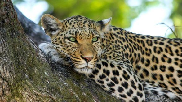 Обои Лежащий на дереве леопард смотрит вдаль