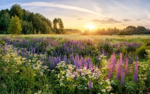 Обои Летний луг, заросший люпинами, в лучах низкого солнца, садящегося за деревья Фотограф Устюжанин Михаил,