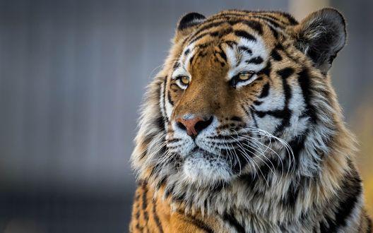 Обои Амурский тигр на размытом фоне