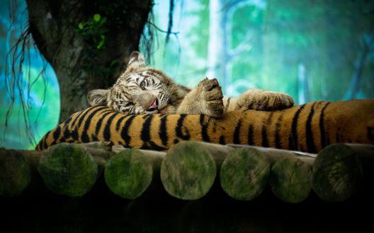 Обои Белый тигр лежит на своем собрате в зоопарке