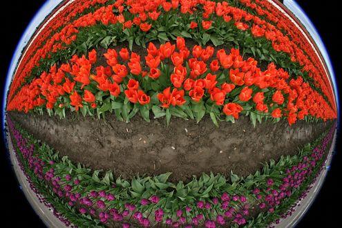 Обои Клумба с разноцветными тюльпанами, отражающаяся в зеркальном шаре Рыбий глаз