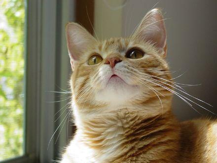 Обои Рыжий кот смотрит вверх