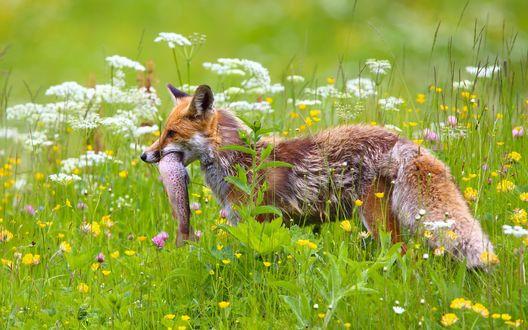 Обои Лиса пробирается по усыпанному цветами лугу, с только что пойманной рыбой
