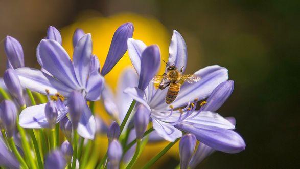 Обои Пчела садится на цветок, макросъемка, на желто-темно -зеленом фоне