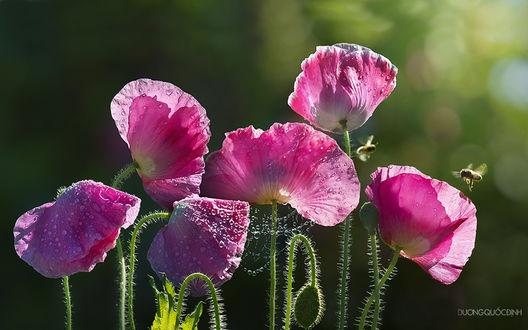 Обои Розовые маки в каплях росы, с паутиной на стеблях и, летающими рядом пчелами, на зеленом фоне, By duong quoc dinh