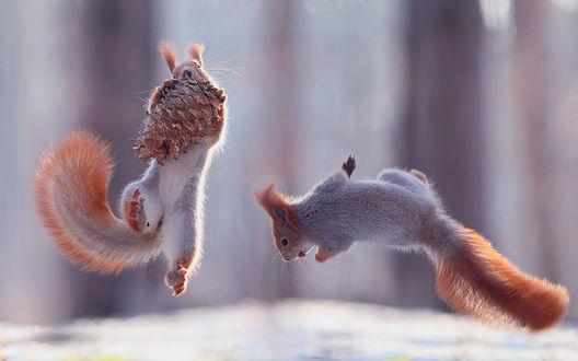 Обои Две белки весело прыгают с шишкой на снежной полянке, на фоне размытых деревьев, Фотограф Вадим Трунов