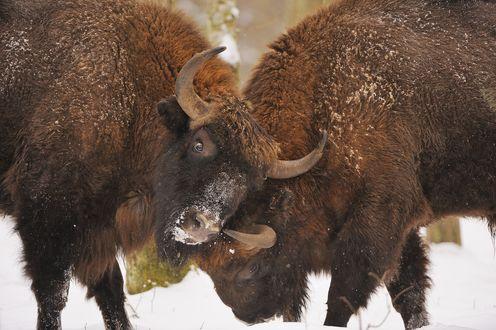 Обои Бой двух буйволов в Беловежской Пуще, Территория Национального Парка Польши