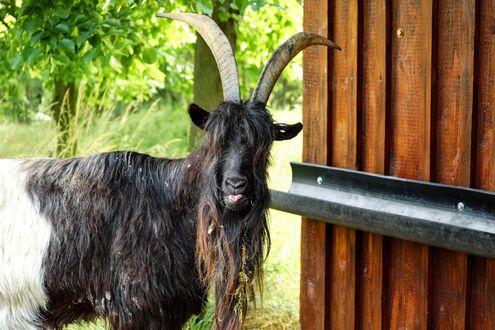 Обои Роскошный длинношерстный козел у деревянной стенки хлева, на заднем плане зеленые деревья