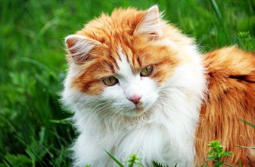 Обои Пушистая рыже-белая кошка лежит на зеленом лугу
