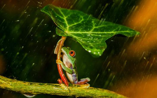 Обои Лягушка прячется от дождя под зеленым листом